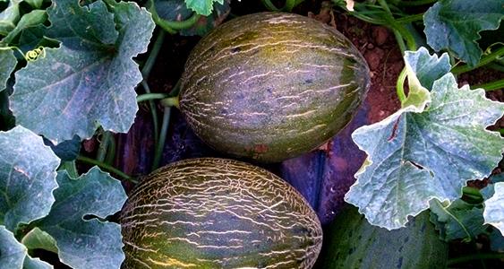 melones2